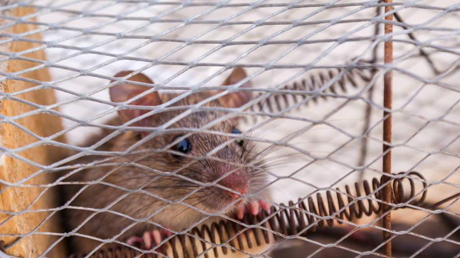 How To Get Rid Of Mice From Your House My Homey Home
