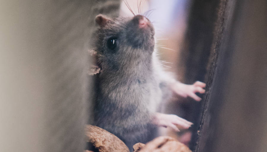 How To Get Rid Of Mice In The Walls And Ceilings My Homey Home