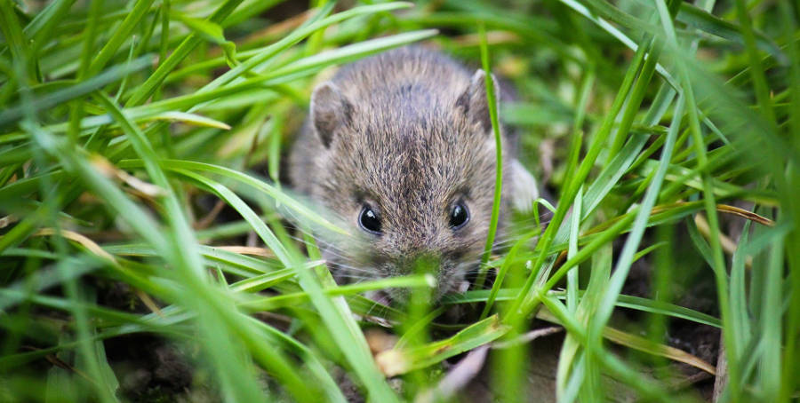 How to get rid of Field Mice and Rats in your yard and ...
